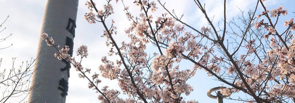 広島大学_サクラ